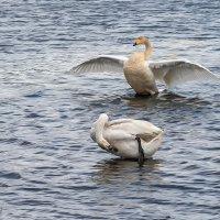 Лебеди прилетели :: Сергей l