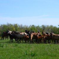 Степная картинка из жизни коней,которые ходят сами по себе... :: Хлопонин Андрей Хлопонин Андрей