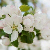 Яблони цвет :: Ольга Гуськова