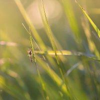 Комар на траве :: Александр Синдерёв