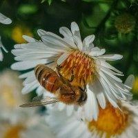 Аки пчёлка :: Николай Гирш
