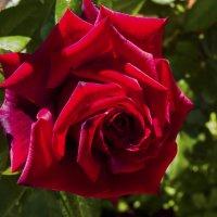 Роза :: Валентин Семчишин