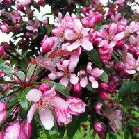 Яблони в цвету под дождем :: veera (veerra)