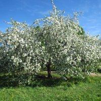 Цветение яблони по дороге в аэропорт Пулково :: dli1953