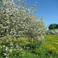 Яблоневый сад :: dli1953