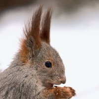 Опять свежемороженными орешками кормят.... :: Сергей Черных
