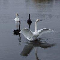 Лебеди :: Alexei Mamontov