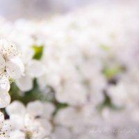 Вишня в цвету :: Наталия Дурандина