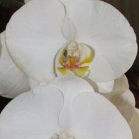 Орхидея :: АннА ВикторовнА КлючниК