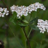 полевые цветы :: Сергей Старовойт
