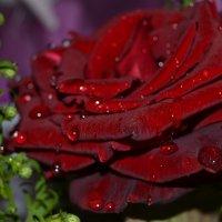 Роза :: Alina Bondar