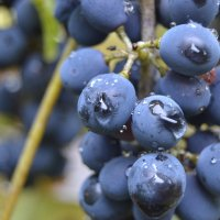 Виноград :: Alina Bondar