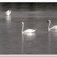 Лебеди :: Евгений Кочуров