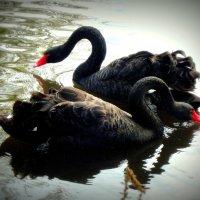Танец чёрных лебедей. :: Вера