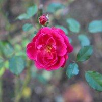 Роза :: Олег Холин
