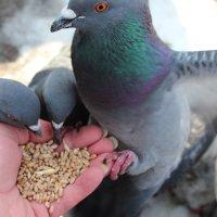 голубь :: Tanana К