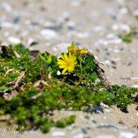 И на камнях растут... цветы :: Виталий Левшов