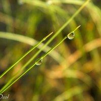 Роса на травинке :: Артур Озол