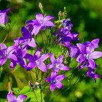 Цветущие поляны Карелии :: Wanderer Burunduck