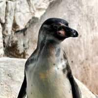 пингвин :: Сергей Басов