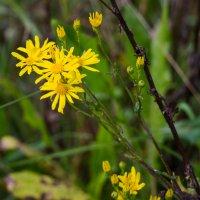 цветок полевой :: Сергей Старовойт