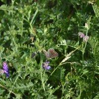 Бабочкина жизнь...Летаем. Клеверные джунгли... :: Георгиевич