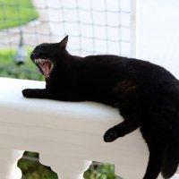 cat mouth open :: Андрей Богданов АндиСтудия.РФ