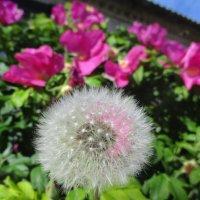 Смысл жизни одуванчика: наполняться светом, летать, жить, даже думать красиво! :: Alex Aro Aro Алексей Арошенко