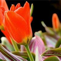 Тюльпаны. :: Liudmila LLF