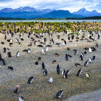 огромное количество пингвинов :: Георгий А