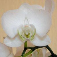 Прекрасная орхидея :: Galina Solovova