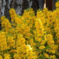 жёлтое-летнее :: Alisa Koteva