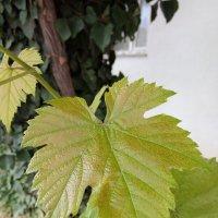 Лист винограда :: Giant Tao /