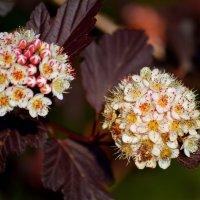 Спирея(пузыреплодник калинолистный) цветёт :: Татьяна Лютаева