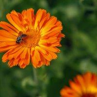 Календула и пчела :: Татьяна Афанасьева