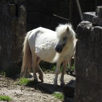 Беленькая пони :: Natalia Harries