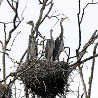 Гнездо серой цапли :: Viktor Makarov