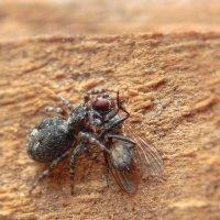Кроха скакунчик завалил комнатную муху! ;) :: Елена Хайдукова  ( Elena Fly )