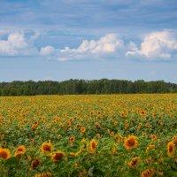 Солнечное поле. :: Pavel Vasilev