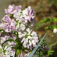 Ванюшины кудри - так в моём детстве называли этот цветок с приятным ароматом... :: Татьяна Смоляниченко