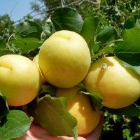 абрикосы :: Люша