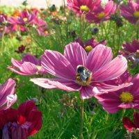 Розовые цветы :: Елена Суханова