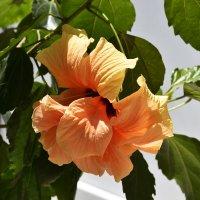 Китайская роза (Гибискус) :: Gudret Aghayev