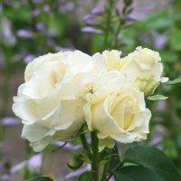 Белые розы... :: Наташа *****