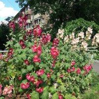Цветы у дома. Мальва цветёт. :: Наталья Владимировна