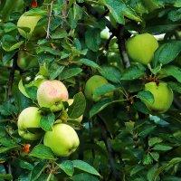 Яблочки поспевают :: Светлана