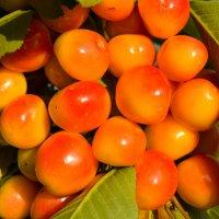 Солнечные ягоды :: Алексей Строев