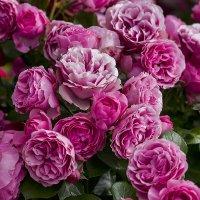 Розовые розы :: Александр