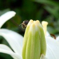 Пчёлка... :: Инна Сперанская