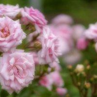 Розовые розы :: Арина